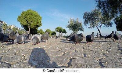 Pigeons 4K UHD
