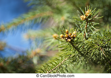 Shoots of spruce - Young shoots of spruce