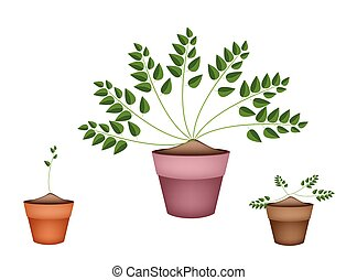 Three Evergreen Plants in Ceramic Flower Pots - Ecological...