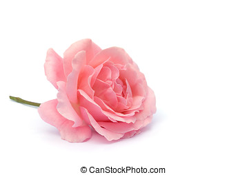 pink rose, isolated - rose in rosa, liegt, freigestellt