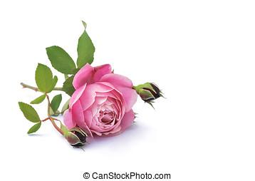 roses, isolated - rose, rosenknospen, blaetter, liegen,...