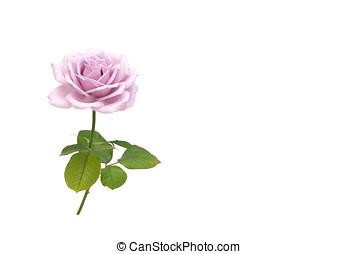purple rose, isoliert - rose, isoliert in purple
