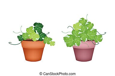 Two Polyscias Leaves in Ceramic Flower Pots - Ecological...