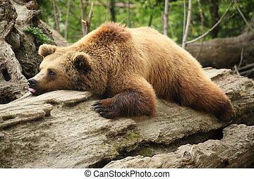 preguiçoso, urso,