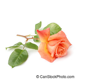 rose, isolated - orangefarbene rose, blaetter, stengel,...