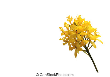 yellow orchid, isolated - gelbe orchidee, zweig,...