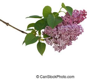 lilac branch - fliederzweig, freigestellt