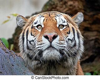 Amur Tiger (Panthera tigris altaica) - Amur Tiger hiding...