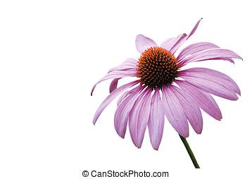 purple coneflower, isolated - sonnenhut, echinacea,...