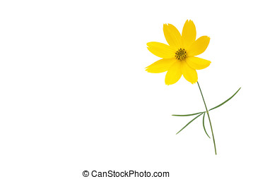 little daisy, isolated - kleine margerite, freigestellt
