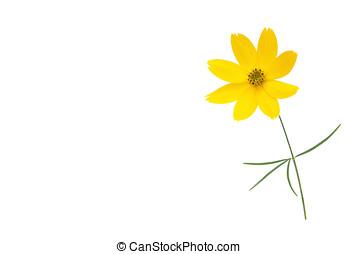 little daisy, isolated - kleine margerite, freigestellt