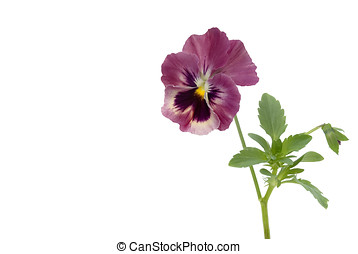 pansy isolated - Stiefmuetterchen, Bluete, Knospe, Blaetter,...