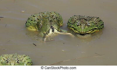 African giant bullfrogs laying eggs - African giant...