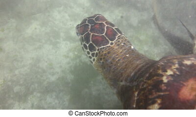 Hawksbill sea turtle - Underwater view of a swimming...