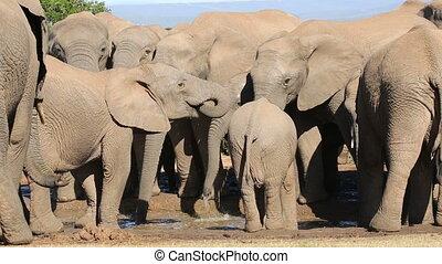 African elephant herd drinking - African elephant herd...