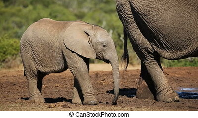 African elephant calf (Loxodonta africana) with its mother,...