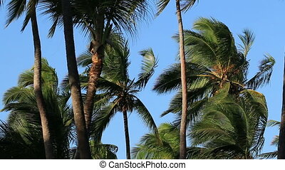 Palm trees in wind