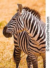 頭, 人物面部影像逼真,  zebra, 動物