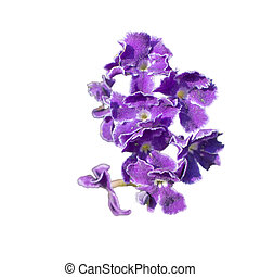 Purple flower isolated on white.