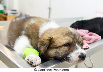 illness puppy(Thai Bangkaew Dog) with catheter at its leg on...