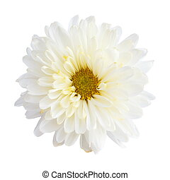 White color Chrysanthemum on white background (isolated)