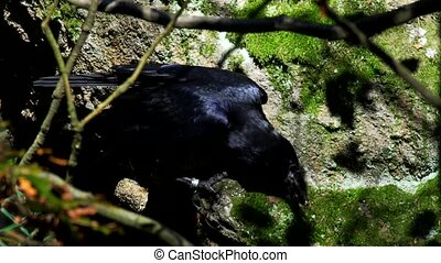 (common) raven - Corvus corax