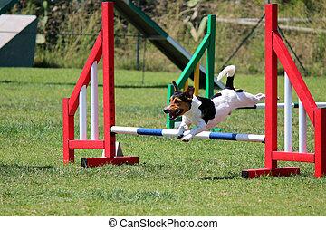 Un, gato, Russel, eso, saltos, un, obstáculo, de, perro,...