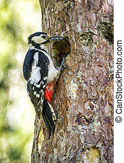Hairy woodpecker, picoides villosus, standing on a trunk...