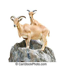 Serow Mountain Goat , Capricornis sumatraensis stand on rock...