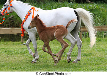 arab horse with foal