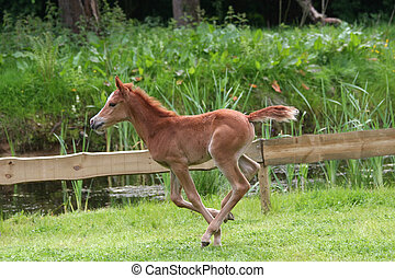 arab foal - arab thoroughbred foal