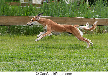 sprinting saluki sighthound