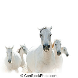 white lipizzian horses