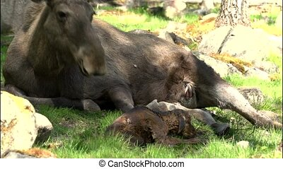 moose in sweden - absolutely rare - newborn moose calf