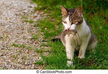 Cat and mouse - Cat has the grey mouse in mouth