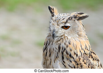 Night silent hunter horned owl with ear-tufts close-up...