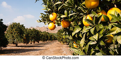 cru, ferme, oranges, nourriture, fruit, bosquet, orange,...