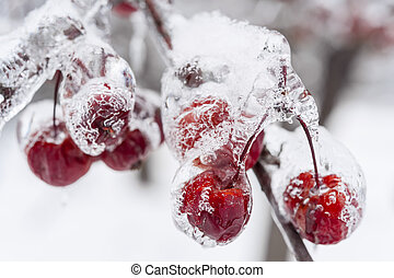 Frozen crab apples on snowy branch - Bunch of red crab...