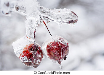 Frozen crab apples on icy branch - Two red crab apples...