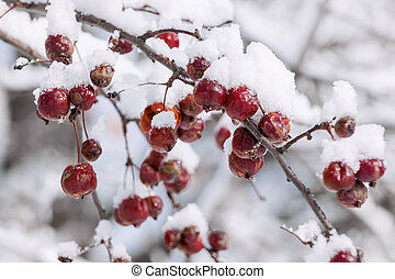 Crap apples on snowy branch - Red crab apples on branch with...