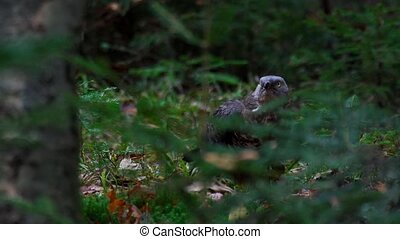European honey buzzard - Pernis apivorus