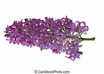 Syringa immagini e archivi syringa - Serenelle fiori ...