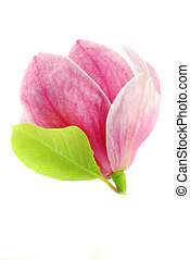 Magnolia bloom - Beautiful pink bloom of magnolia with a...