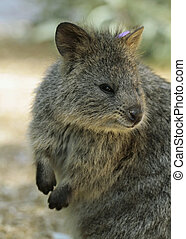 Quokka (Setonix branchyuras) - Quokkas resemble a small...