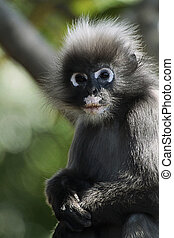 Dusky leaf monkey - The dusky leaf monkey, spectacled...