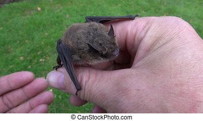 mammal bat Nathusius pipistrelle (Pipistrellus nathusii) in...