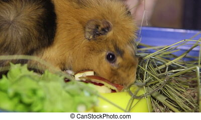 eating guinea pig - guinea pig eat the apple