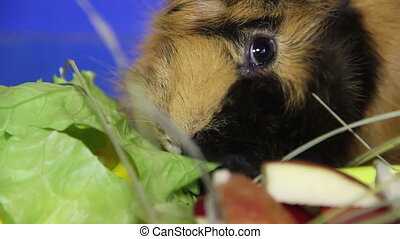 eating guinea pig - guinea pig eat the salad