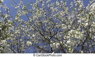 blossoming cherry fruit tree