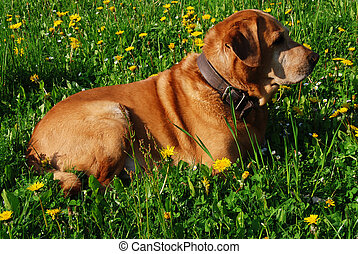 Labrador and flowers - Golden labrador is having rest in the...